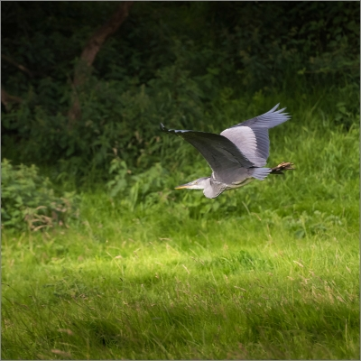 Herron In flight 37