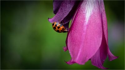 Ladybird 41