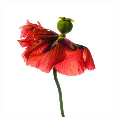 dancing poppy
