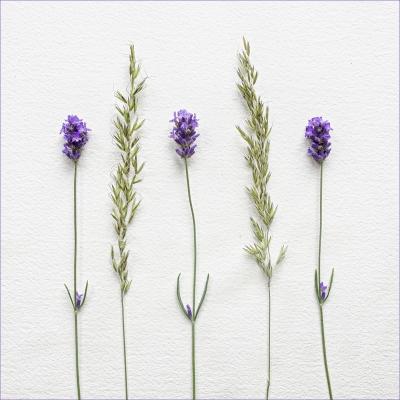 Lavender Grasses 1
