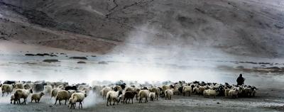 Ladakh 03 Bringing Home the Goats