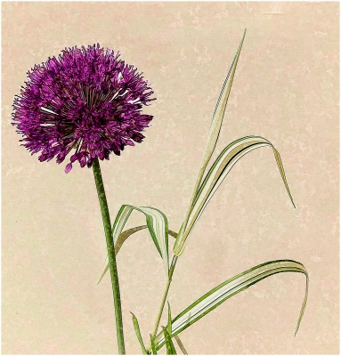 Alium and Pampass Grass