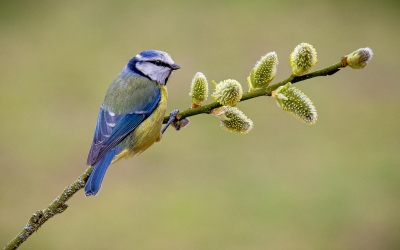 Blue Tit on Willow by Steve Banner
