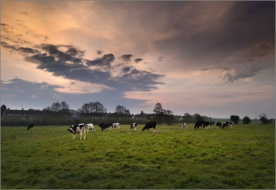 Cows On Trent Flood Plain