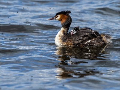 Great Crested Grebe and Chick
