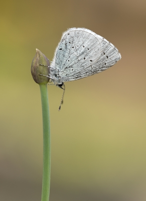 Holly Blue by Tessa Bramall