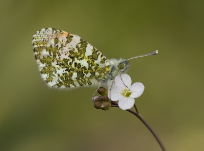 Male Orange-Tip On Cuckoo Flower by Tessa Bramall