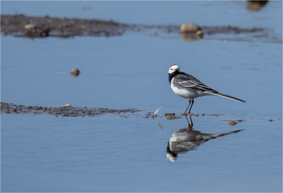 Pied Wagtail and Reflection