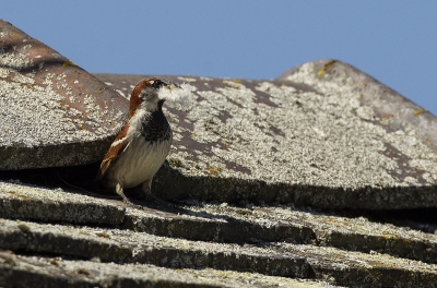 Sparrow Nesting Under Roof Tile