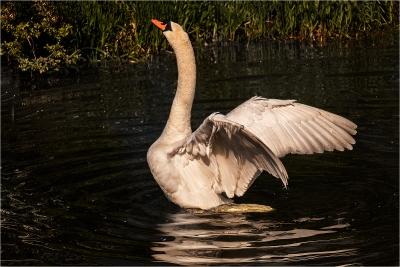 Swan Aggression