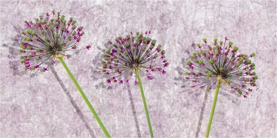 Three alium seed heads with wallpaper background