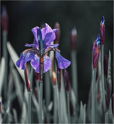 garden iris. jpg