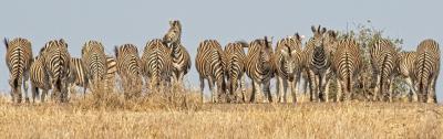 Plains Zebra Line Up -12