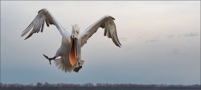 Dalmation Pelican Descending (12)
