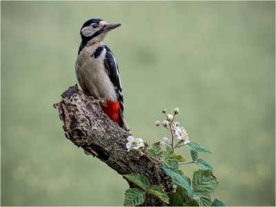 Greater spotted woodpecker -12