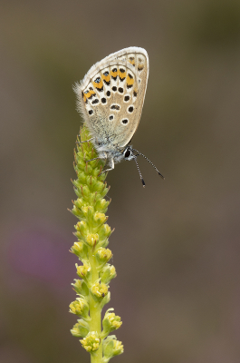 Female Silver-Studded Blue Butterfly -12