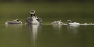 Great Crested Grebe With Four Chicks In The Drizzle -14Highly Commended