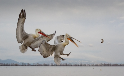 Dalmation pelicans and fish
