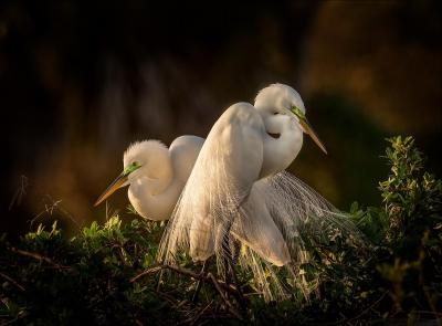 Great-Egrets-at-dusk