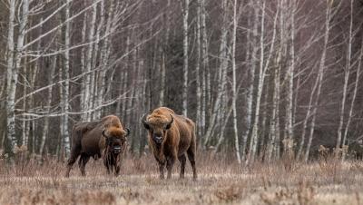 European_Bison_in_Autumn_Habitat
