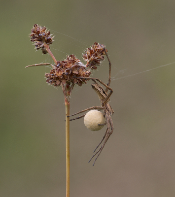 3-Spider-With-Egg-Sac