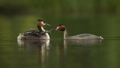 Great-Crested-Grebe-Chick-Taking-Damselfly-From-Parent