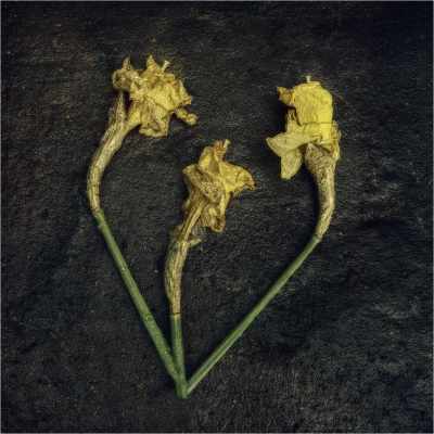 decaying daffodils