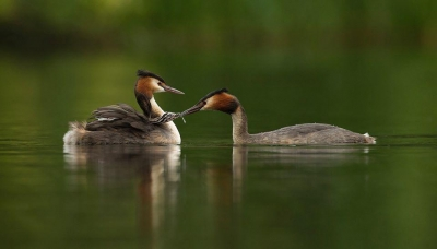 Great Crested Grebe taking damselfly from parent -20