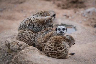 Cuddle of Meercats - 18