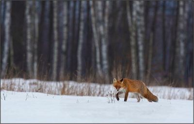 European Red Fox in Habitat --20