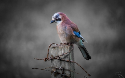 Jay at Hilderstone