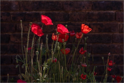 A Poppies Against the Wall