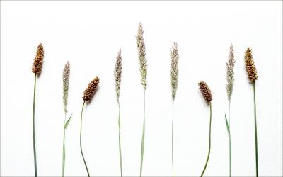 Flowering Grasses 1