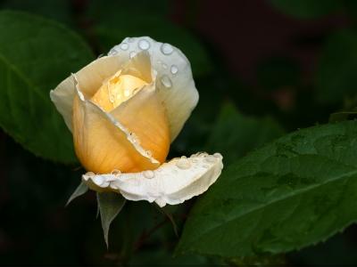 Raindrops on Rosebud