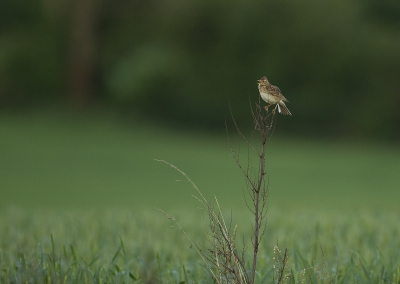 Skylark Singing