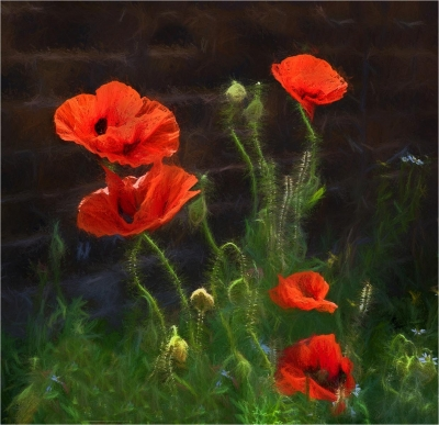 Wall Poppies