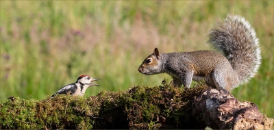 Woodpecker and Squirrel stand-off