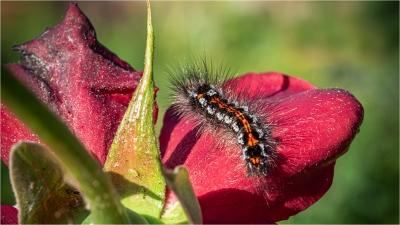 Yellow Tail Moth Caterpillar