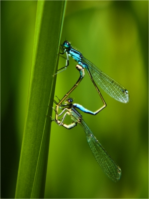 common blue damselflys mating