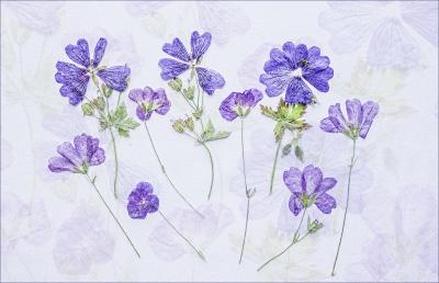 Geraniums copy