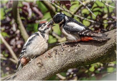 great spotted woodpecker feeding young